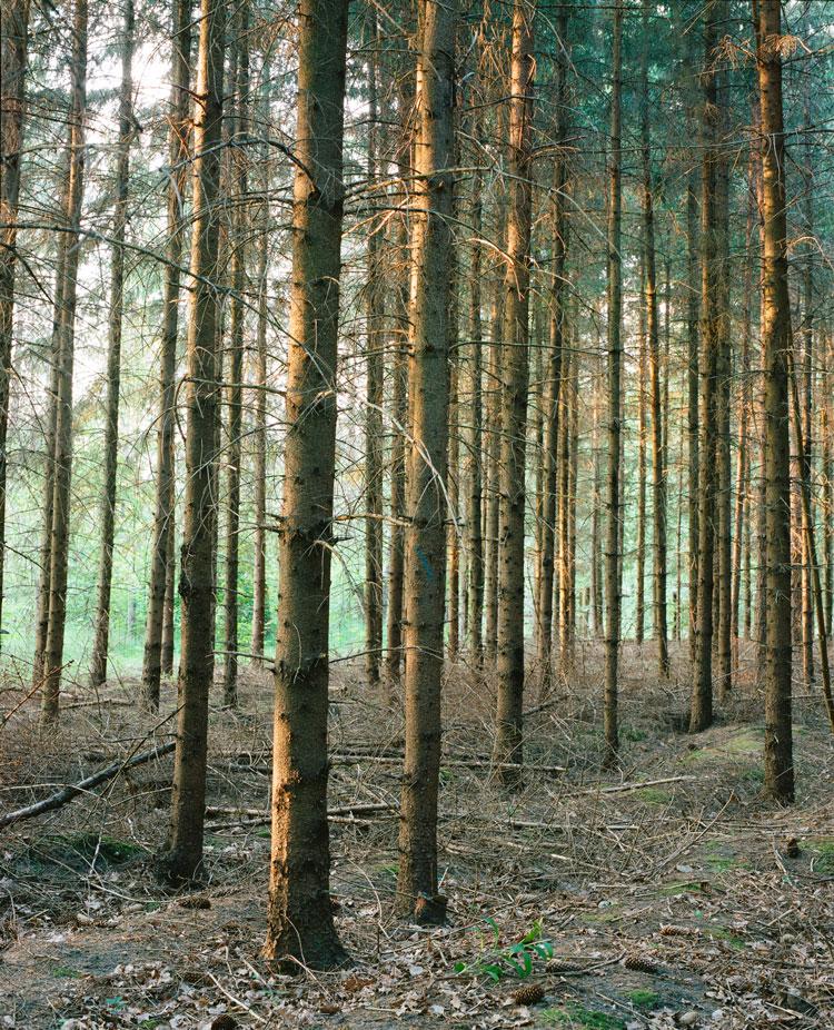 Spruce plantation in Białowieża